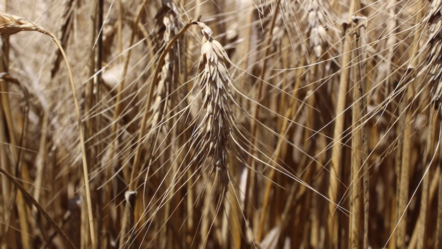 nodding-wheat-16-9